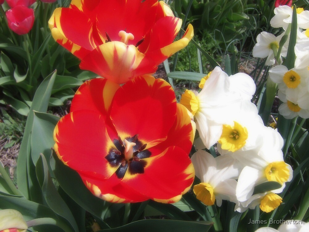 Tulips And Daffodils by James Brotherton