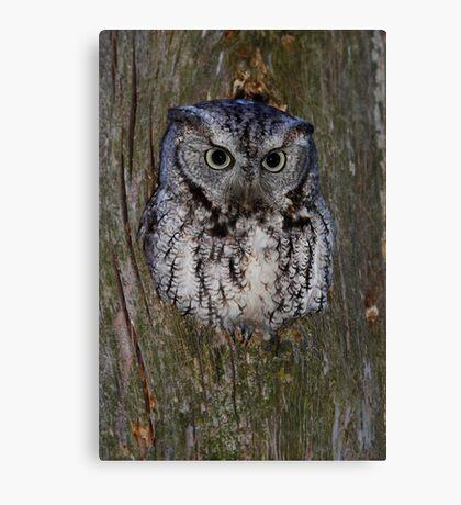 Eastern Screech Owl eye opener Canvas Print