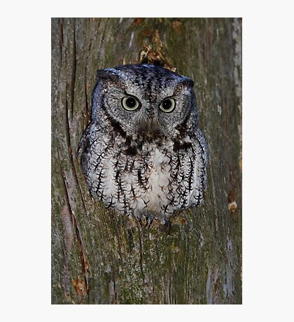 Eastern Screech Owl eye opener Photographic Print