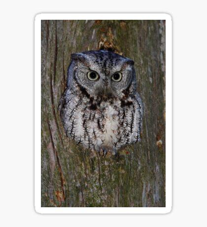 Eastern Screech Owl eye opener Sticker