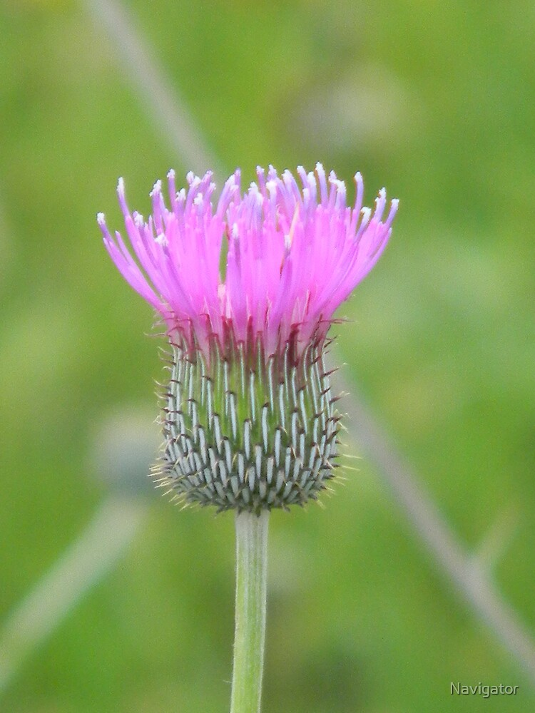 Thistle by Navigator