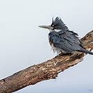 Belted Kingfisher in the wind by (Tallow) Dave  Van de Laar