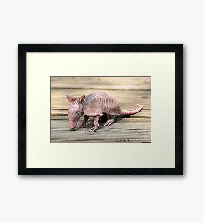 Baby Armadillo (Dasypus novemcinctus) Framed Print