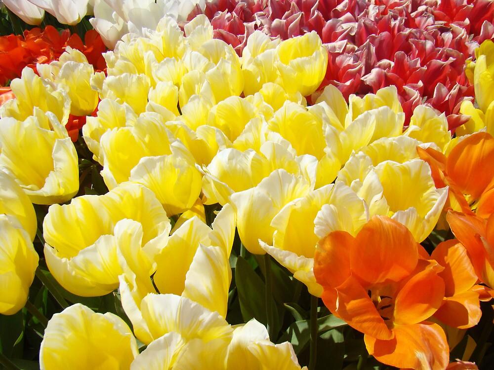 Tulip Flowers Festival Art Prints Yellow White Tulips by BasleeArtPrints