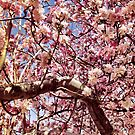 Cherry blossom by taylormorrill