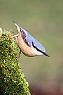 Nuthatch by Alan Forder