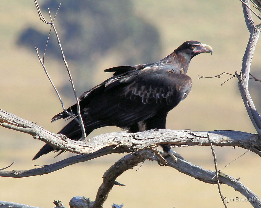 Wedge Tailed Eagle Canberra No 2 by Kym Bradley