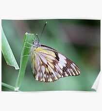 Brown veined migrant butterfly Poster