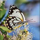 Caper White Butterfly by Helenvandy