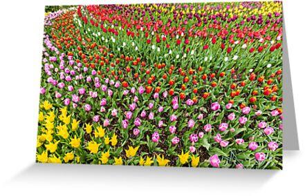 Circular Array of Abundant Tulip Colors by Jim Stiles