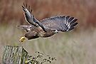 Common Buzzard by Alan Forder
