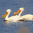 A Pelican Pair by lorilee
