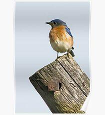 Eastern Bluebird - Sialia sialis Poster