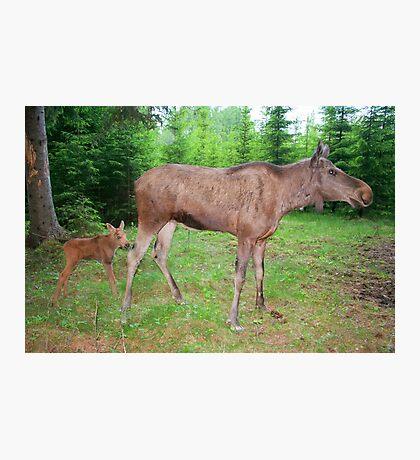 Eurasian Elk with Calf Photographic Print