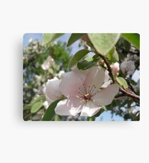 Quince Flowers Canvas Print