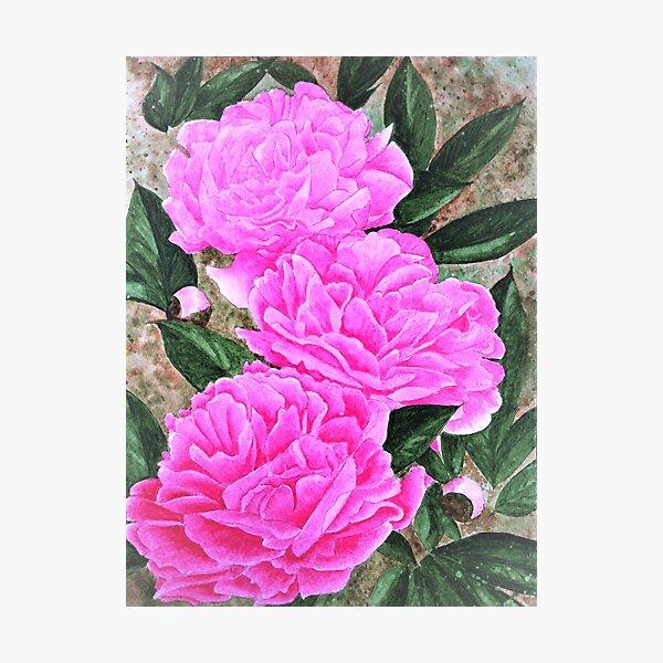 three pink peonies Photographic Print