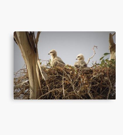 Red-tailed Hawk Chicks ~ Third Generation Canvas Print