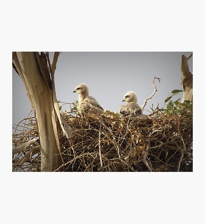 Red-tailed Hawk Chicks ~ Third Generation Photographic Print