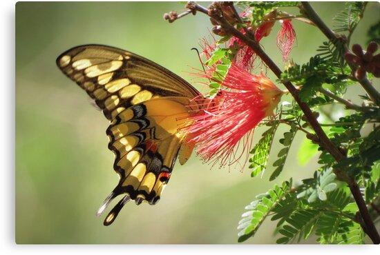 Giant Swallowtail by Kimberly Chadwick