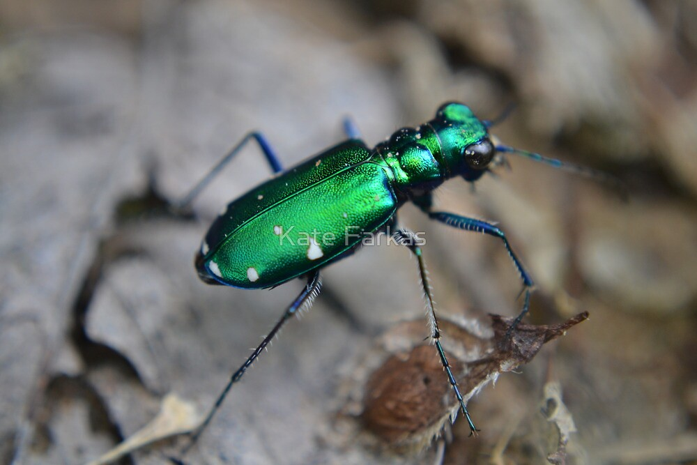 Six-spotted Tiger Beetle Beauty by Kate Farkas