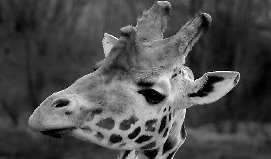 Giraffattitude by Ladymoose
