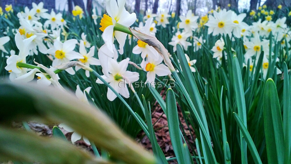 Daffodils by chrstnes73