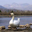 Swan Lake by mikebov