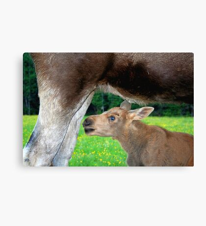 Baby Moose - Searching for Milk Canvas Print