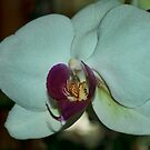 White Orchid by Penny Fawver