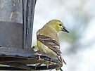 Yellow Finch by FrankieCat