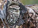 Little Owl by Alan Forder