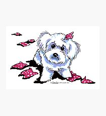 Bichon in Big Trouble Photographic Print