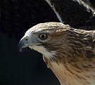 Red Tailed Hawk by Nigel Bangert