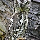 Eastern Screech Owl, in the middle of town by Kate Farkas