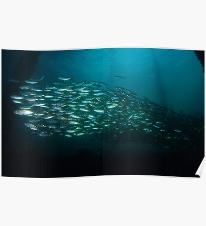 Yellowtail Mackerel Poster