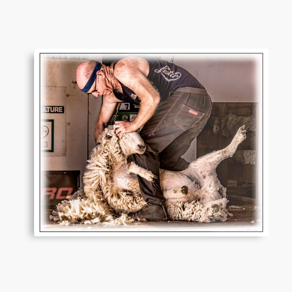 Sheep shearing Metal Print