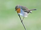Robin by Alan Forder