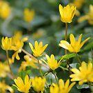 Dancing Buttercups by KUJO-Photo
