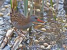 water rail by Alan Forder