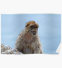 A Barbary Macaques In Gibraltar Poster