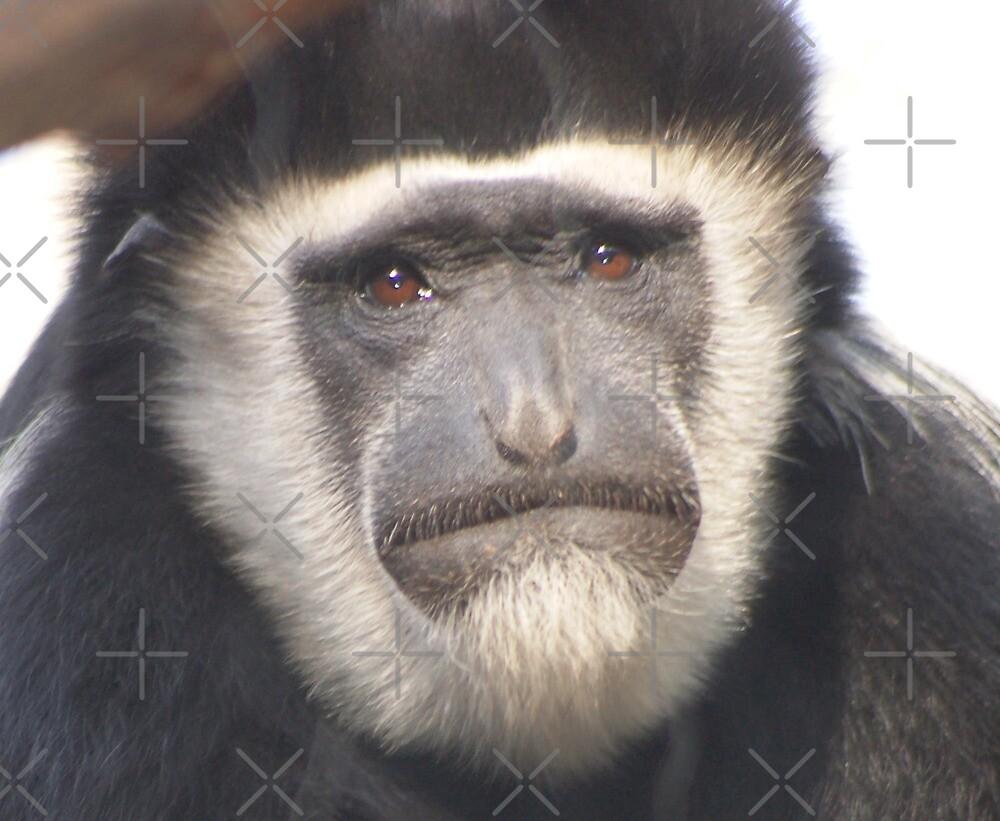 Black and white colobus monkey, primate by loiteke