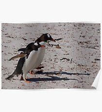 Gentoo Penguins, Falkland Islands Poster