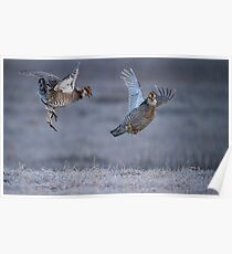Fighting Prairie Chickens Poster