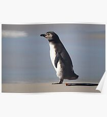 Magellanic Penguin Juvenile, Falkland Islands Poster