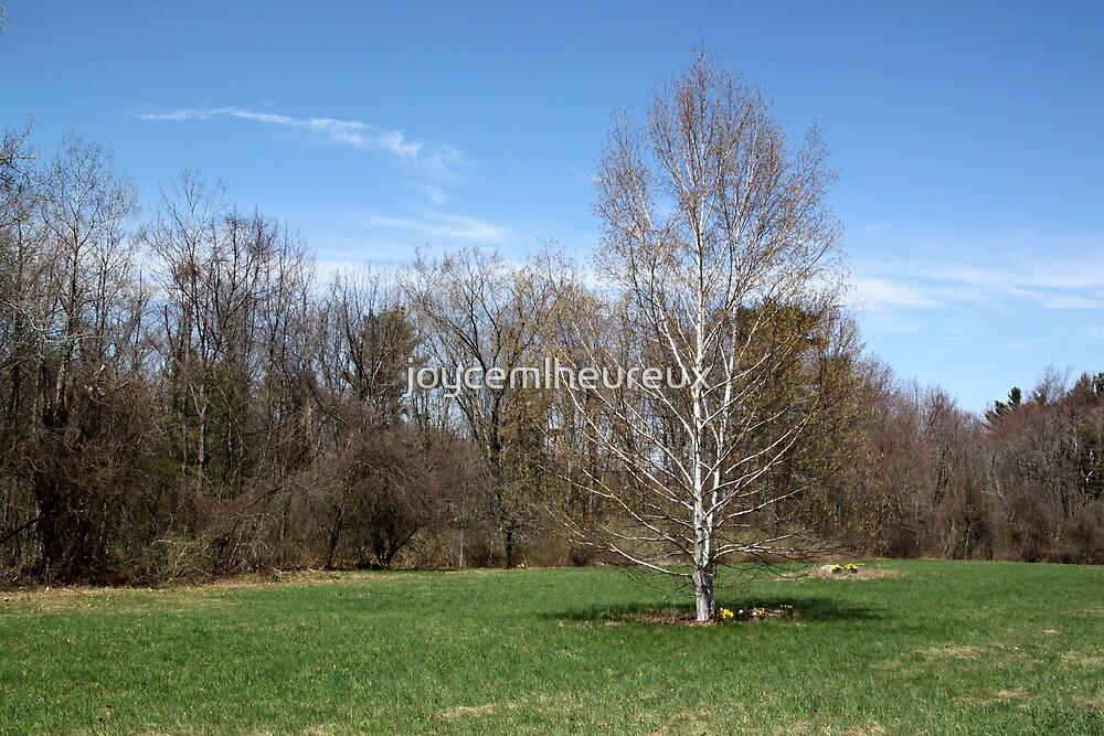 Spring Birch Tree by joycemlheureux