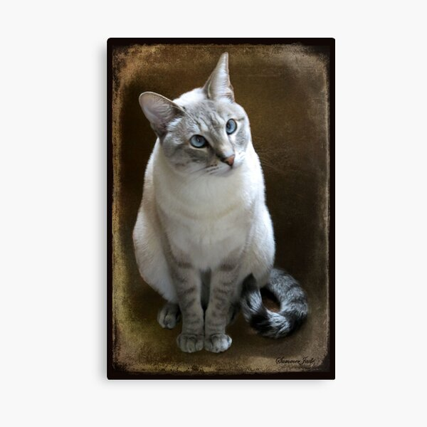 Lilac Point Siamese ~ Old Blue Eyes Canvas Print