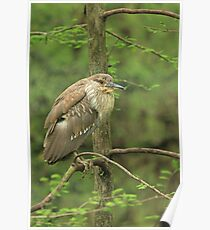 Juvenile Black-Crowned Night Heron ~ Poster
