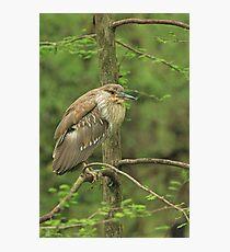 Juvenile Black-Crowned Night Heron ~ Photographic Print