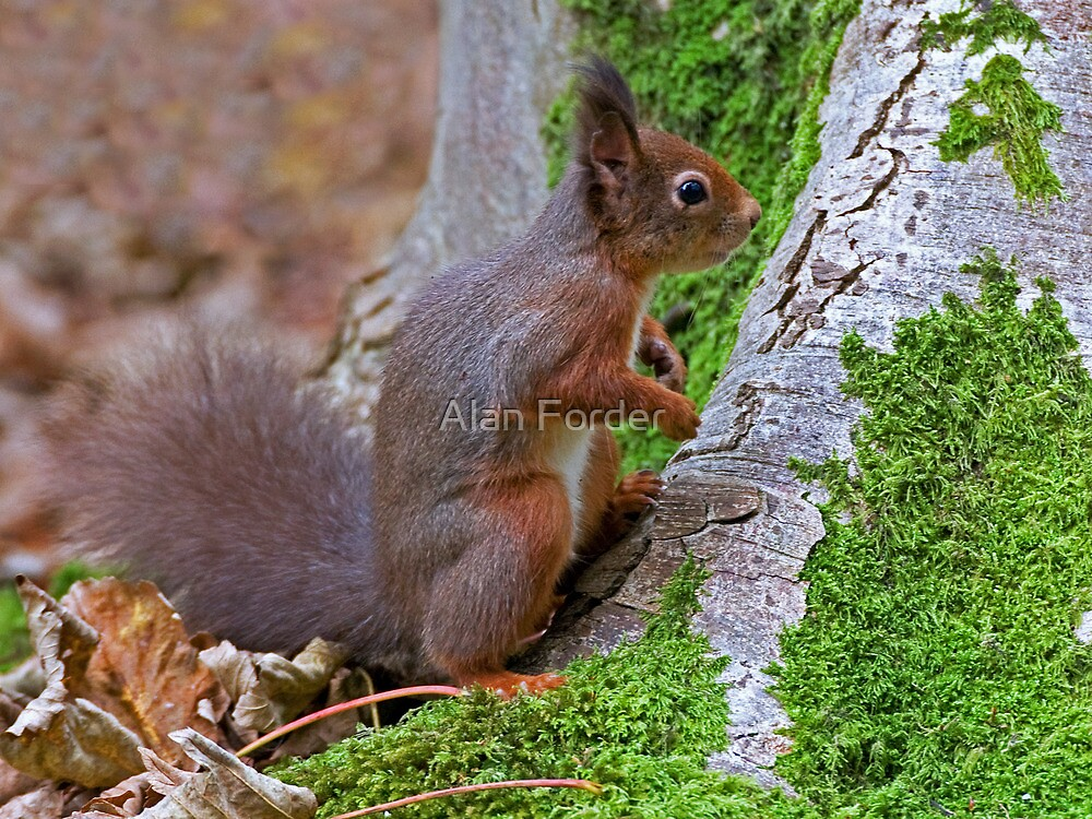 Red squirell 3 by Alan Forder