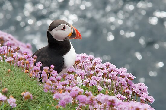 Puffin at Rest by DesDaly